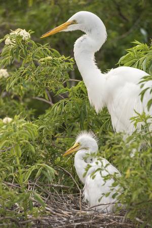https://imgc.artprintimages.com/img/print/usa-florida-orlando-great-egret-and-baby-egret-at-gatorland_u-l-poi2co0.jpg?p=0