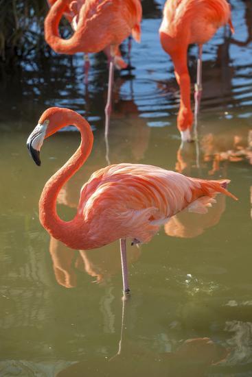 USA, Florida, Orlando. Pink Flamingos at Gatorland.-Lisa S^ Engelbrecht-Photographic Print