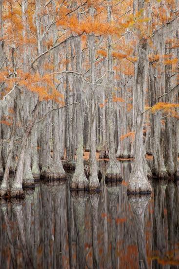 USA, George Smith State Park, Georgia. Fall cypress trees.-Joanne Wells-Photographic Print
