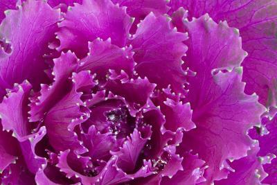 USA, Georgia, Savannah, Fancy leaf cabbage.-Joanne Wells-Photographic Print