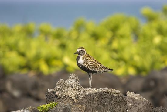 USA, Hawaii, Honokohau Bay. Pacific golden plover close-up.-Jaynes Gallery-Photographic Print