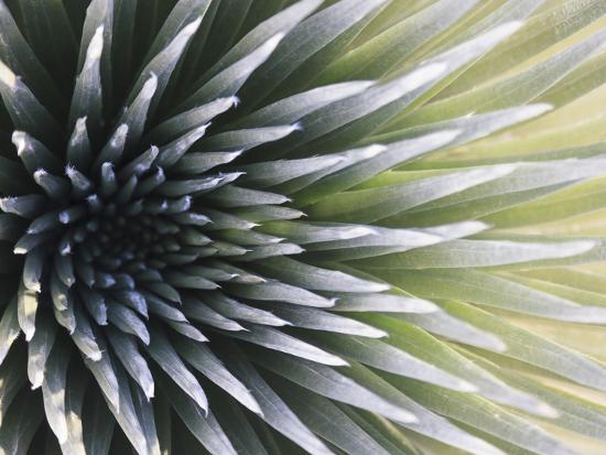 USA, Hawaii, Maui, Haleakala National Park, Silversword Plant (Argyroxiphium Sandwicense)-Michele Falzone-Photographic Print