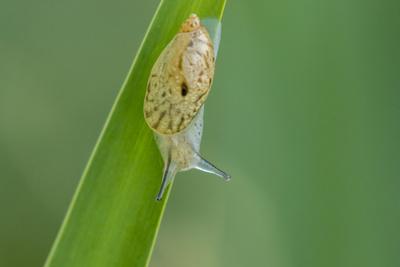 https://imgc.artprintimages.com/img/print/usa-louisiana-lake-martin-snail-on-leaf_u-l-q1gc08k0.jpg?p=0