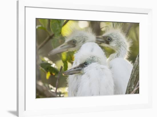 USA, Louisiana, Miller's Lake. Little blue heron chicks.-Jaynes Gallery-Framed Premium Photographic Print