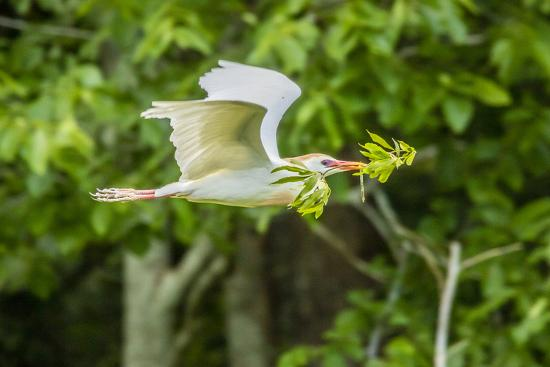 USA, Louisiana, Vermilion Parish. Cattle egret carrying nest material.-Jaynes Gallery-Photographic Print