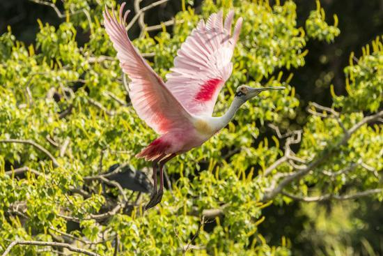 USA, Louisiana, Vermilion Parish. Roseate spoonbill taking flight.-Jaynes Gallery-Photographic Print