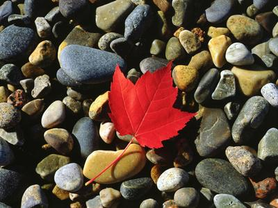 https://imgc.artprintimages.com/img/print/usa-maine-a-maple-leaf-on-a-rock-background_u-l-pqetaq0.jpg?p=0