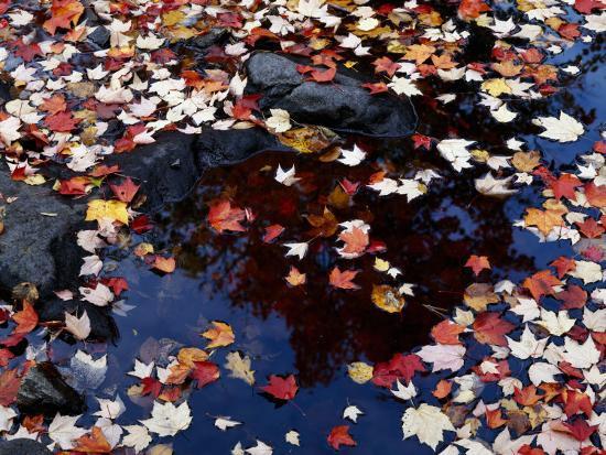 Usa, Maine, Maple Leaves-Jeff Foott-Photographic Print