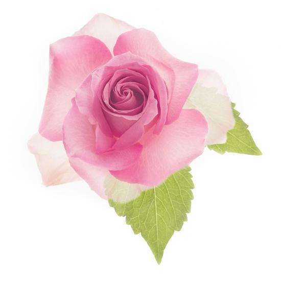 USA, Maryland, Bethesda, Pink Rose, Digitally Altered-Hollice Looney-Photographic Print