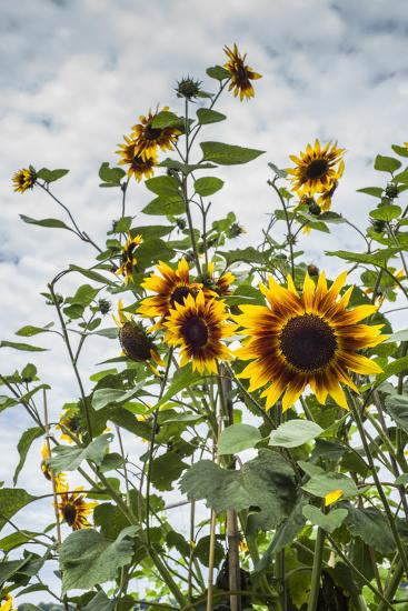 USA, Massachusetts, Cape Ann, Gloucester, Annisquam, Sunflowers-Walter Bibikow-Photographic Print