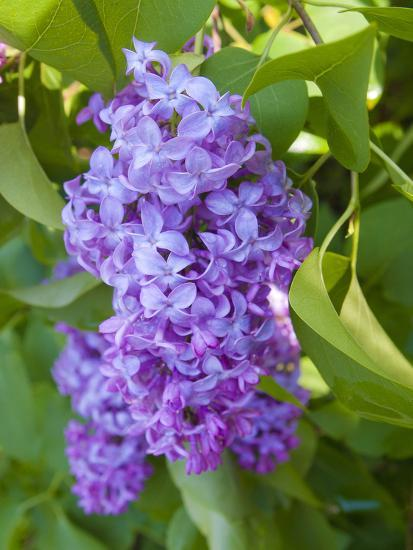 USA, Michigan. Blooming French Lilac.-Anna Miller-Photographic Print