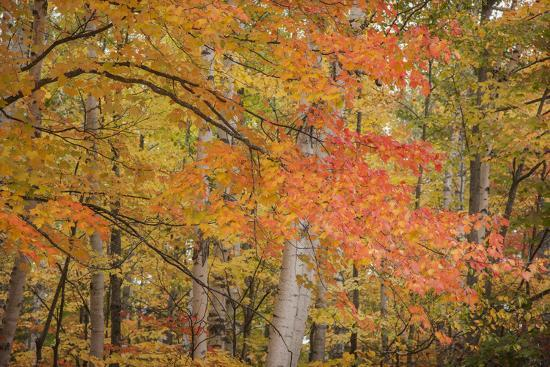 USA, Michigan, Upper Peninsula. Red Maple Trees in Autumn Color-Don Grall-Photographic Print