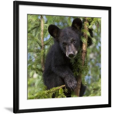 USA, Minnesota, Minnesota Wildlife Connection. Black bear in a tree.-Wendy Kaveney-Framed Photographic Print