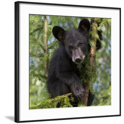 USA, Minnesota, Minnesota Wildlife Connection. Black bear in a tree.-Wendy Kaveney-Framed Photographic Print