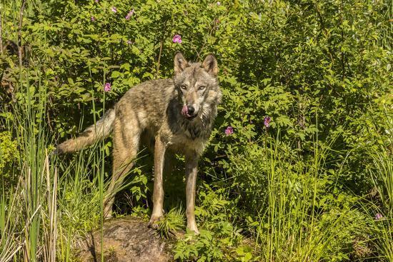 USA, Minnesota, Pine County. Captive gray wolf adult.-Jaynes Gallery-Photographic Print