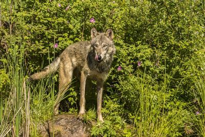 https://imgc.artprintimages.com/img/print/usa-minnesota-pine-county-captive-gray-wolf-adult_u-l-q1gcpf20.jpg?p=0