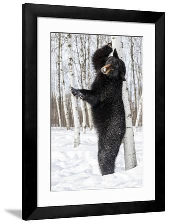USA, Minnesota, Sandstone, Black Bear Scratching an Itch-Hollice Looney-Framed Premium Photographic Print