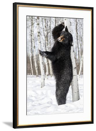 USA, Minnesota, Sandstone, Black Bear Scratching an Itch-Hollice Looney-Framed Premium Photographic Print