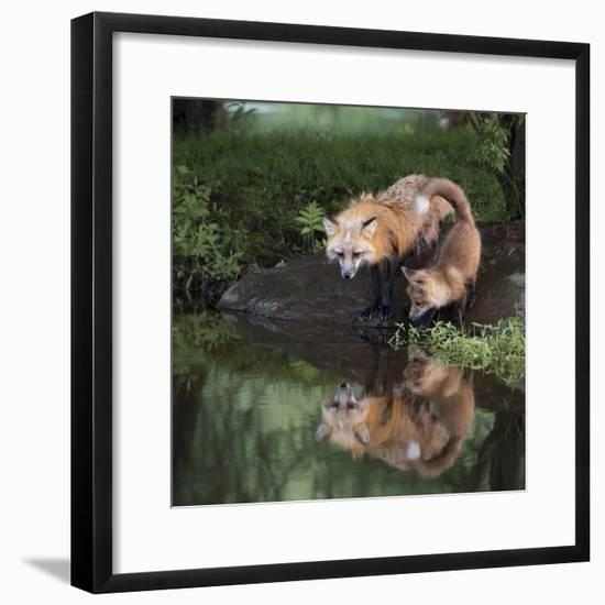 USA, Minnesota, Sandstone. Red fox and kit reflected in water's edge.-Wendy Kaveney-Framed Photographic Print