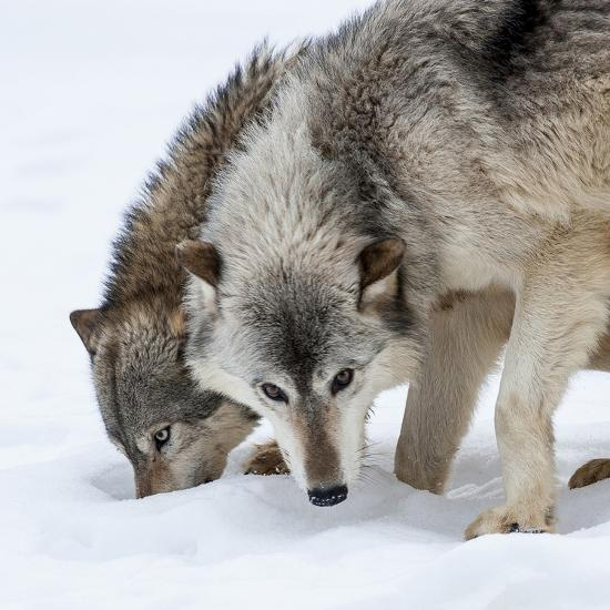 Usa, Minnesota, Sandstone, wolves digging in the snow-Hollice Looney-Photographic Print