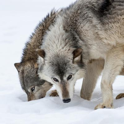 https://imgc.artprintimages.com/img/print/usa-minnesota-sandstone-wolves-digging-in-the-snow_u-l-q1d26400.jpg?p=0
