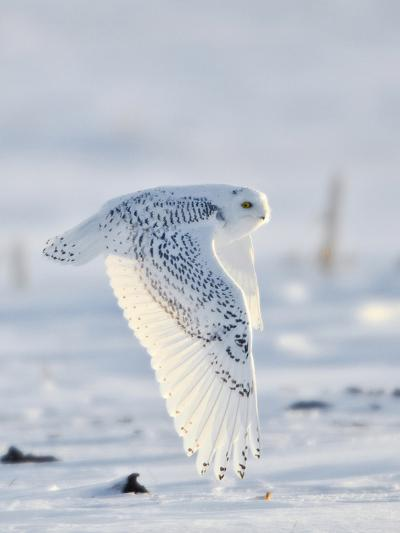 USA, Minnesota, Vermillion. Snowy Owl in Flight-Bernard Friel-Photographic Print