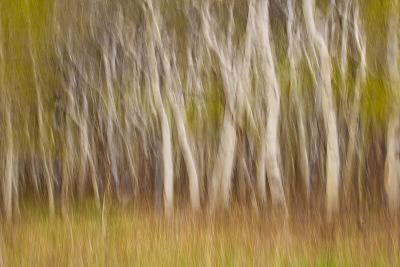 USA, Montana. Aspen Forest Abstract-Don Paulson-Photographic Print