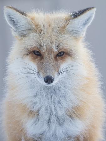 https://imgc.artprintimages.com/img/print/usa-montana-big-sky-ousel-falls-red-fox-n_u-l-q1gxm3j0.jpg?p=0