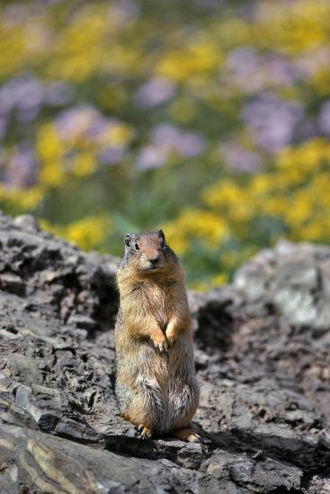 USA, Montana, Glacier NP. Columbia Ground Squirrel Close-up-Steve Terrill-Photographic Print
