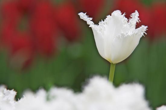 USA, Nevada, Las Vegas. White-fringed tulips in garden.-Jaynes Gallery-Premium Photographic Print
