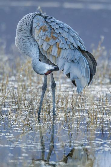 USA, New Mexico, Bosque Del Apache National Wildlife Refuge. Sandhill crane grooming.-Jaynes Gallery-Photographic Print