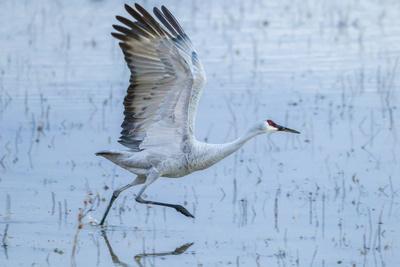 https://imgc.artprintimages.com/img/print/usa-new-mexico-bosque-del-apache-national-wildlife-refuge-sandhill-crane-taking-flight_u-l-q1gbc7t0.jpg?p=0