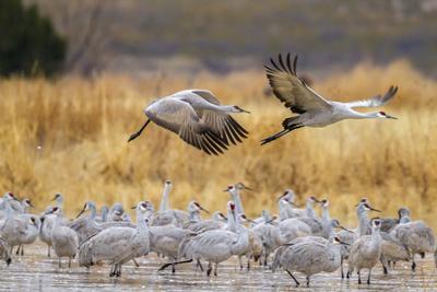 https://imgc.artprintimages.com/img/print/usa-new-mexico-bosque-del-apache-national-wildlife-refuge-sandhill-cranes-flying-over-flock_u-l-q1gbgvx0.jpg?p=0