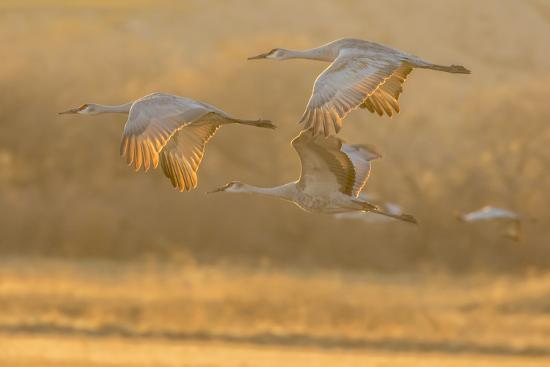 Usa New Mexico Bosque Del Apache Sandhill Cranes Flying At Sunset Premium Photographic Print Jaynes Gallery Art Com