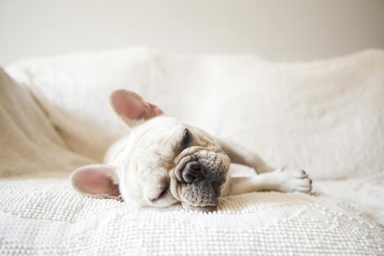 Usa, New York State, New York City, Portrait of French Bulldog Sleeping on Sofa-Jessica Peterson-Photographic Print