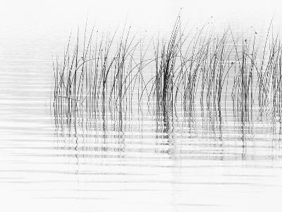 USA, New York State. River reeds, St. Lawrence River, Thousand Islands.-Chris Murray-Photographic Print
