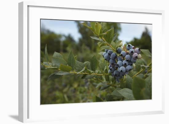 USA, Oregon, Blueberries on the Bush-Rick A. Brown-Framed Photographic Print
