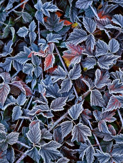USA, Oregon. Frost on Wild Blackberry Bush-Steve Terrill-Photographic Print