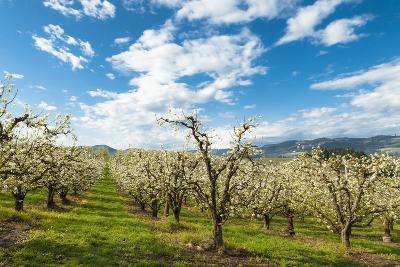 USA, Oregon Hood River, Valley. Apple Orchard Near Hood River-Richard Duval-Photographic Print