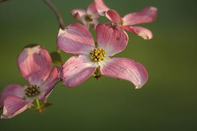 USA, Oregon, Keizer, Flowering Dogwood in Neighborhood-Rick A^ Brown-Photographic Print