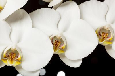 USA, Oregon, Keizer, Hybrid Orchid-Rick A Brown-Photographic Print