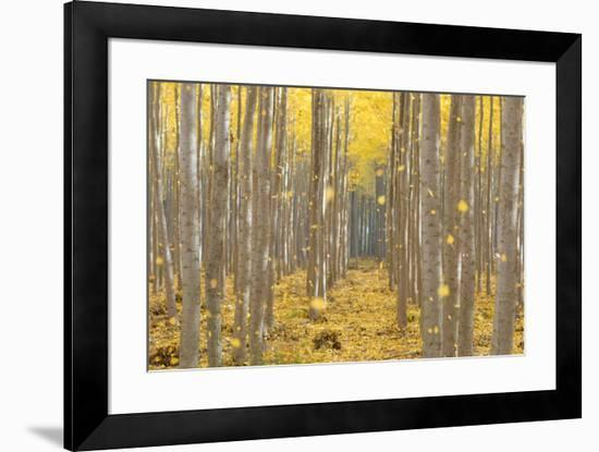 USA, Oregon, Morrow County. Poplar Trees at the Boardman Tree farm.-Brent Bergherm-Framed Photographic Print