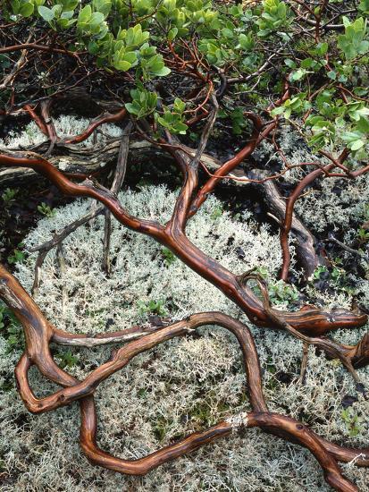 USA, Oregon, Mt. Hood NF. Manzanita Plant on Bed of Moss-Steve Terrill-Photographic Print