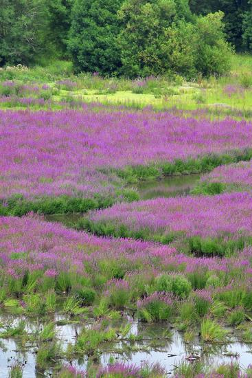 USA, Oregon, Oaks Bottom. Purple Loosestrife Flowers in Marsh-Jaynes Gallery-Photographic Print