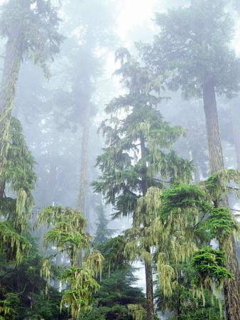 https://imgc.artprintimages.com/img/print/usa-oregon-old-growth-douglas-fir-tree-in-the-rainforest_u-l-pqeh610.jpg?p=0