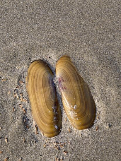USA, Oregon, Oswald West State Park, Mussel shell and beach sand.-John Barger-Photographic Print