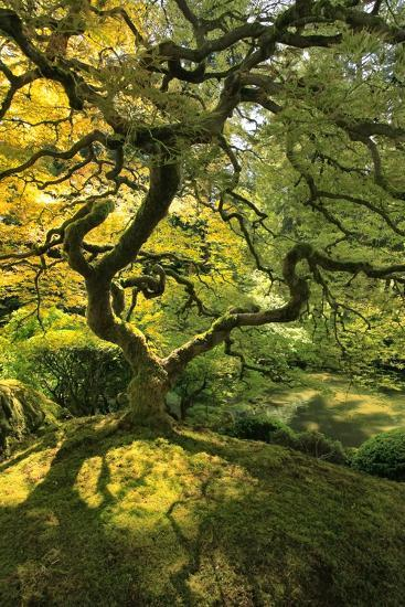Usa, Oregon, Portland. Japanese lace maple tree-Jaynes Gallery-Premium Photographic Print