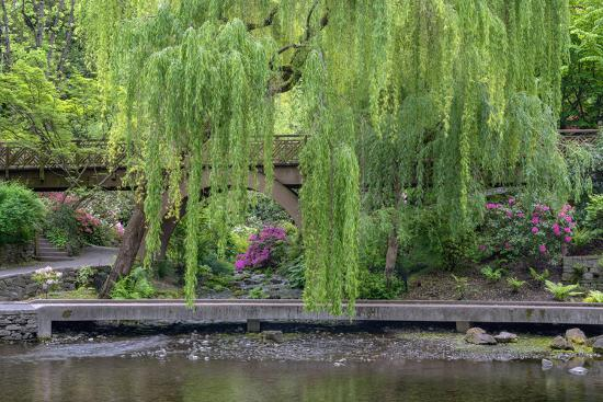 USA, Oregon, Portland, Weeping willow above small creek and blooming azalea.-John Barger-Premium Photographic Print