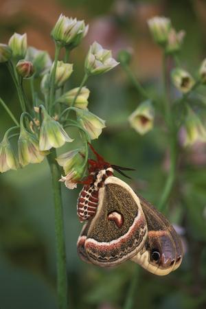 https://imgc.artprintimages.com/img/print/usa-pennsylvania-cecropia-moth-on-allium-flowers_u-l-pu37r30.jpg?p=0