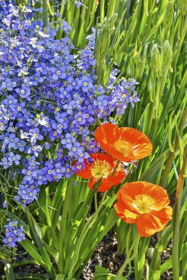 USA, Pennsylvania, Kennett Square. Quamash and tulips-Hollice Looney-Photographic Print